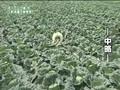 cabbage?man - haromoni@ -