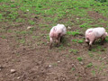 Welsh Pigs