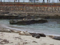 Seals at La Jolla Shores