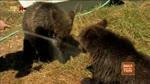 47 Bärengeschwister (4) Bärenhunger