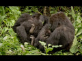 NATURE | The Gorilla King | Gorilla Baby Named Titus | PBS