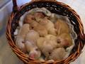 Labrador Puppy Beckman lab puppies