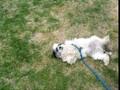 dog play dead
