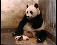 Panda-tchoum