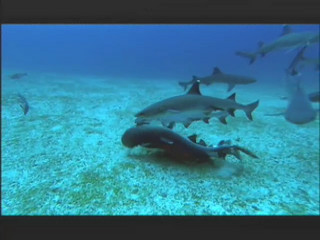 NATURE | Shark Mountain | Violent Shark Courtships | PBS