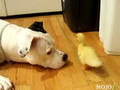Cute & Gentle Pit Bull With Duck
