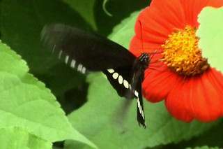 Butterfly Eating Necter