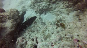 sailfin catfish - ningaloo, western australia - june 2013
